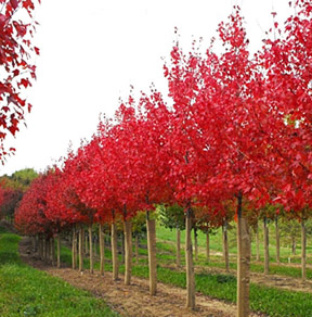 Autumn Flame Maple Hoette Farms Nursery