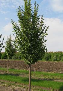 Green Vase Zelkova Hoette Farms Amp Nursery