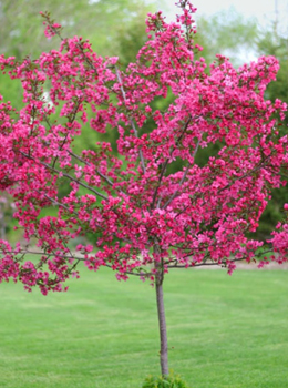 Coralburst crabapple hoette farms nursery ornamental trees coralburst crabapple mightylinksfo