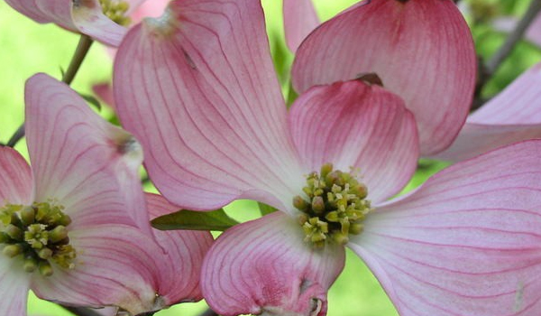 Pink flowering dogwood hoette farms nursery ornamental trees pink flowering dogwood mightylinksfo