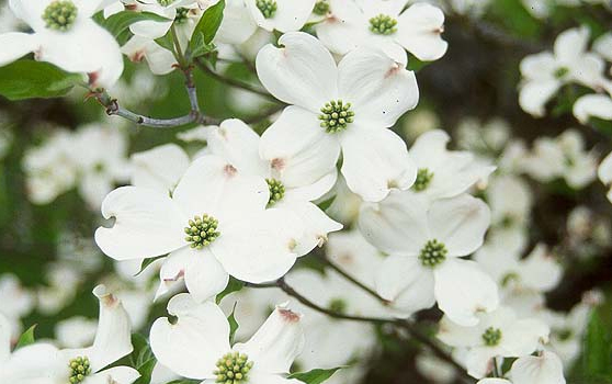 White Flowering Dogwood – Hoette Farms & Nursery