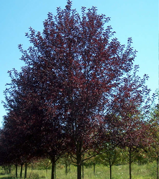 Ornamental Trees Canada Red Cherry