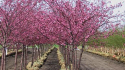 Pink Snow Showers Weeping Cherry Tree